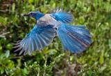 Florida scrub-jay in flight.