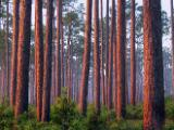 Flatwoods at sunrise at Ochlockonee River State Park