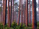 Flatwoods at sunrise at Ochlockonee River State Park