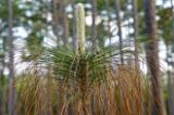 Longleaf pine after a burn, Apalachicola National Forest