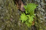 Early March in ABRP, hardwood forest; resurrection fern