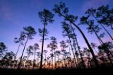 pre-dawn in pine forest of everglades national park, florida