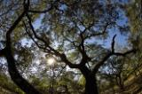 Live oaks in oak hammock, ABRP