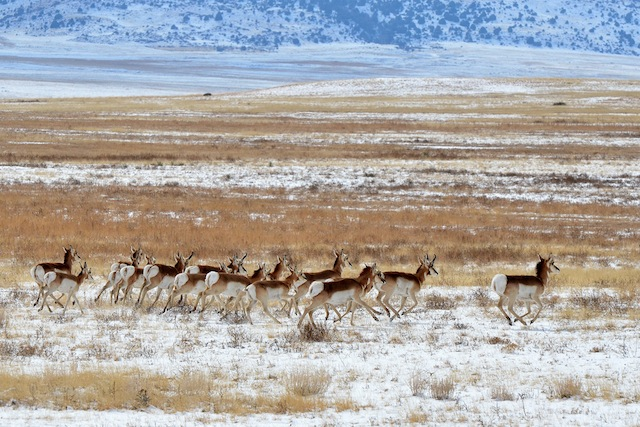 Herd of pronghorn running across a snowy grassland