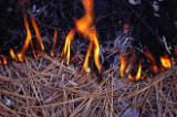 In this close-up, the flames of a control fire, set by the forest service to pr event wildfires, consume dry pine needles.