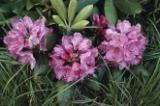 A close view of pink rhododendron flowers. Appalachian Trail, Blue Ridge Mountains, Virginia.