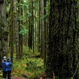 big tree in Olympic National Park with 2 people