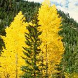 Yellow aspens in autumn