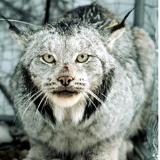 Closeup of lynx