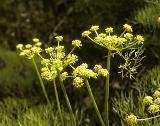 Suksdorf's desert parsley