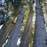 Four big cedar trees